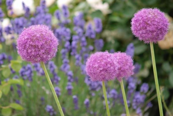 アリウム・ギガンチウムの花の写真