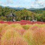 大分農業文化公園のコキア畑
