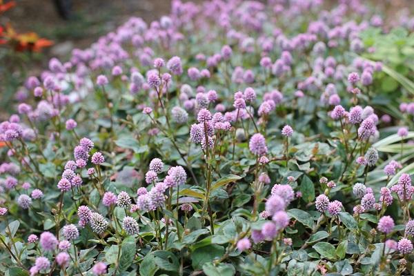 花壇に植えてるヒメツルソバ(姫蔓蕎麦)の花
