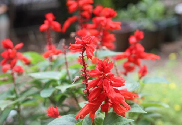 庭の赤いサルビア、スカーレットセージの写真