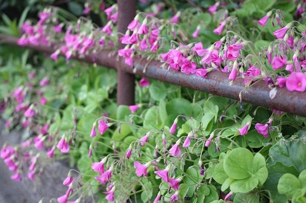 夕方になって萎んたハナカタバミの花の写真