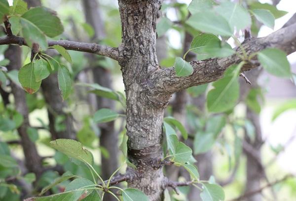 ヤマナシの幹の写真
