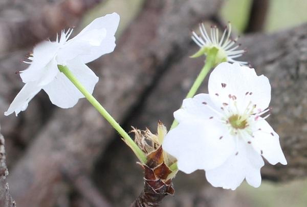ヤマナシの花のアップ写真
