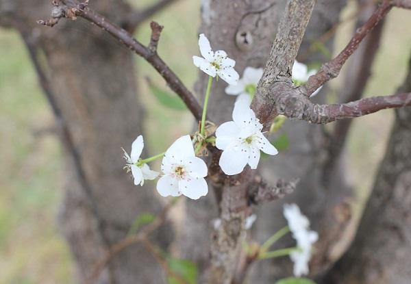 ヤマナシの花が咲いてる枝の写真