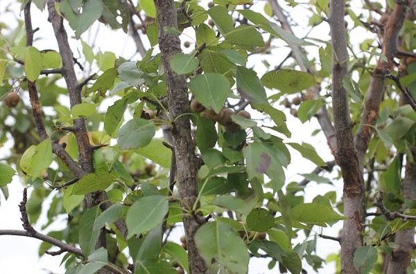 ヤマナシの枝葉の写真