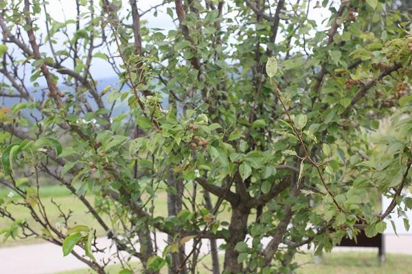 ヤマナシの木、実がなり、花が咲いてる様子