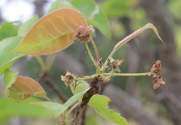 ヤマナシの花後の写真