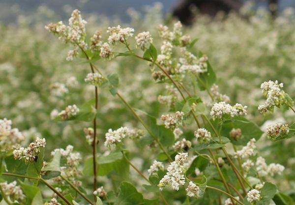 白い花がたくさん咲いてるソバ畑の写真