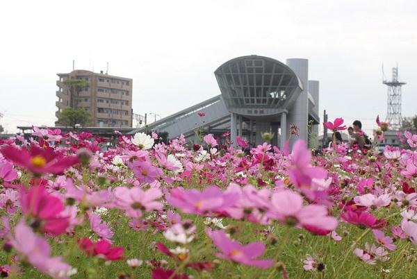 JR長崎本線神埼駅の北口のコスモス畑