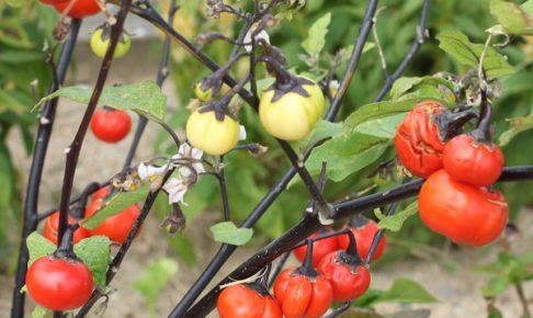 ソラナムパンプキン(パンプキンツリー)の実がたくさん実ってる写真