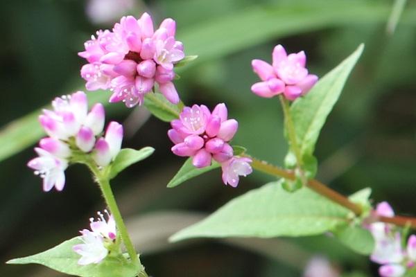 ミゾソバ(溝蕎麦)の花のアップ写真