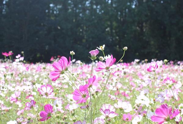 光に照らされてキラキラ輝く 社が丘花園のコスモス畑の写真