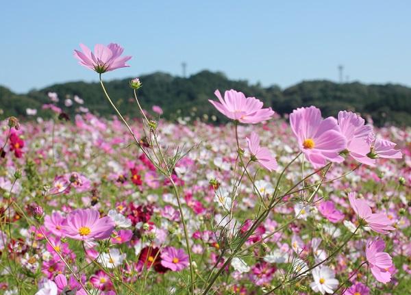 丘の上、一面に咲く 社が丘花園のコスモスの花の写真