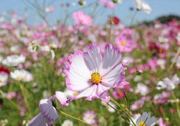 秋風に揺られる 社が丘花園のコスモスの花の写真