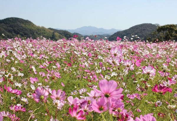 山々を背景に咲くコスモスの群生の写真
