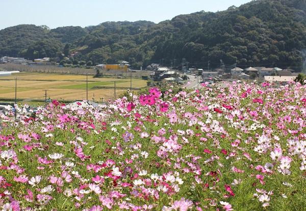 社が丘花園のコスモス畑から見た風景、国道、利根川の桜並木、田んぼの様子