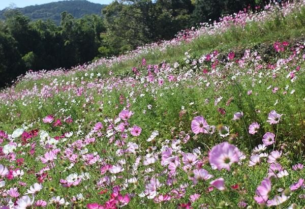 段々畑を利用して植えられてるコスモスの花の写真