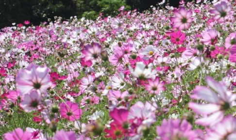 社が丘花園のコスモス畑