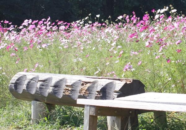 社が丘花園のコスモス畑の中にある木でつくられたベンチの写真