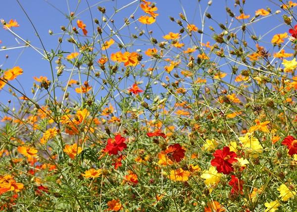 四本堂公園、オレンジ、黄色、赤、色とりどりのキバナコスモス畑の写真