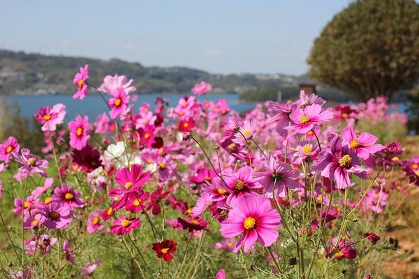 海を背景に咲くコスモスの花の写真