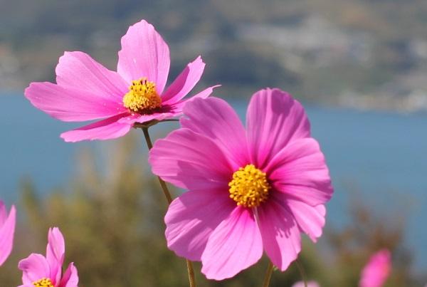 ピンクのコスモスの花のアップ写真