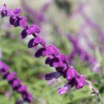 アメジストセージの花の写真