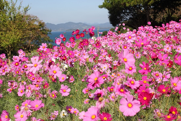 ピンクの濃淡が美しいコスモス畑の写真
