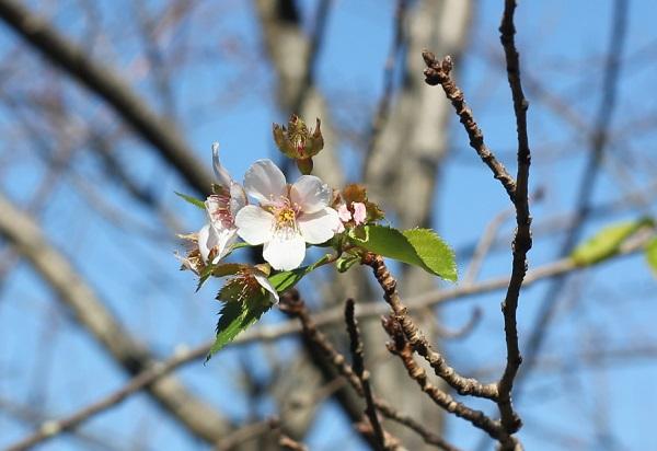 秋に咲いてるソメイヨシノ(狂い咲き)の写真