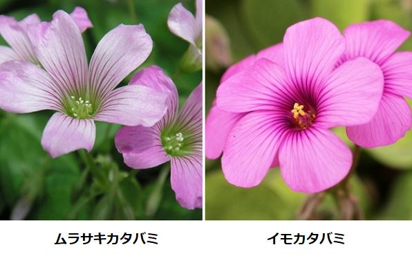 ムラサキカタバミとイモカタバミの比較写真