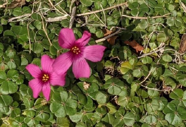 ベニカタバミの花と葉の写真