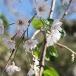 秋に咲いてたシダレザクラ、狂い咲きの花の写真
