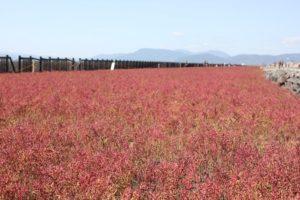 東与賀海岸に群生するシチメンソウの写真