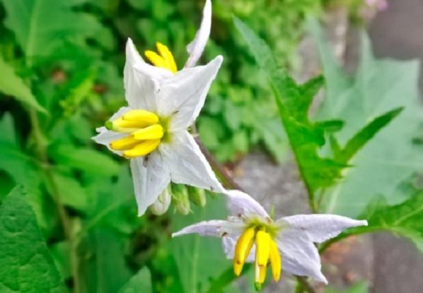 ワルナスビの花の写真