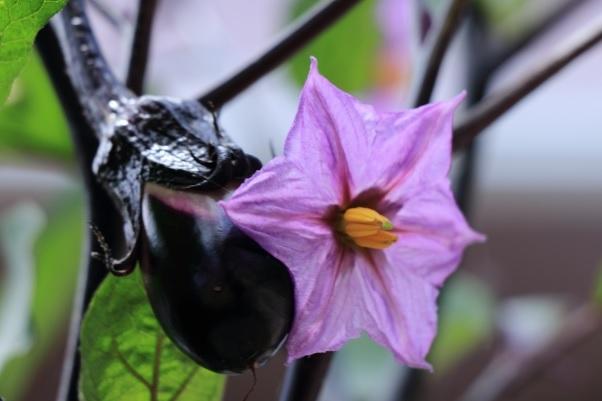 ナスの花の写真