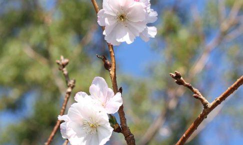 秋に咲いてるアーコレードの花