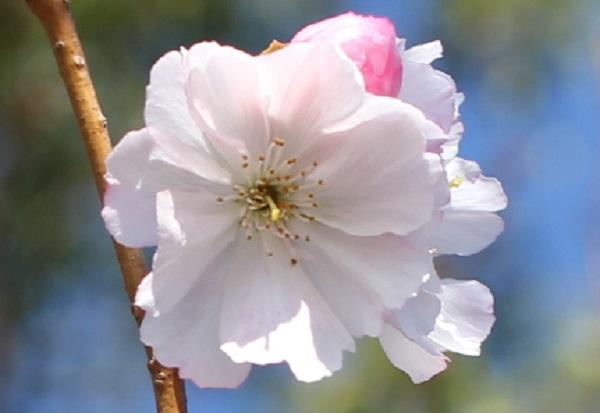 アコードの美しい花、アップ写真
