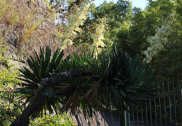 花が咲いてるユッカ蘭(ユッカグロリオサ・アツバキミガヨラン)の全体像の写真
