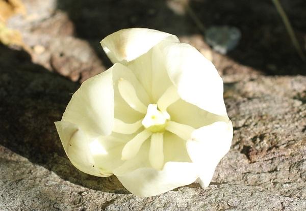 ユッカ蘭(ユッカグロリオサ・アツバキミガヨラン)のぽとりと落ちた花のアップ写真