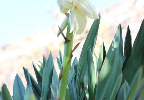ユッカ蘭(ユッカグロリオサ・アツバキミガヨラン)の花茎の写真