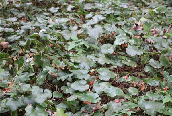 森の中に茂るフユイチゴ(冬苺)の様子の写真