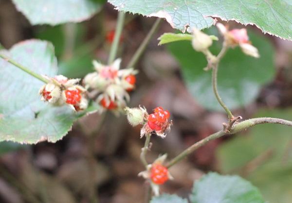 フユイチゴ(冬苺)の実の写真