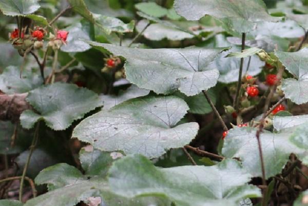 フユイチゴ(冬苺)の実と葉の様子の写真
