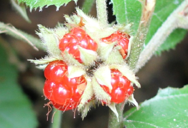 フユイチゴ(冬苺)の実のアップ写真