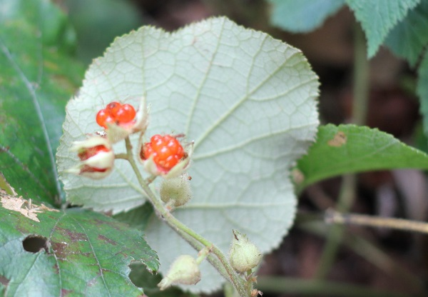 フユイチゴ(冬苺)の葉裏の写真