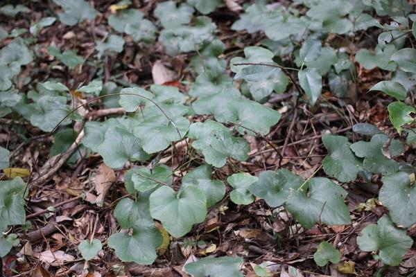 フユイチゴ(冬苺)の葉が茂っている様子の写真
