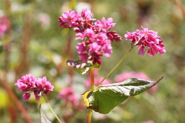 アカソバの花のアップ写真