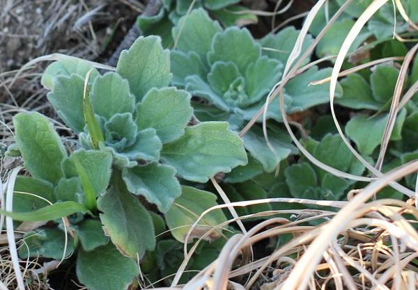 ダルマギクの葉の写真
