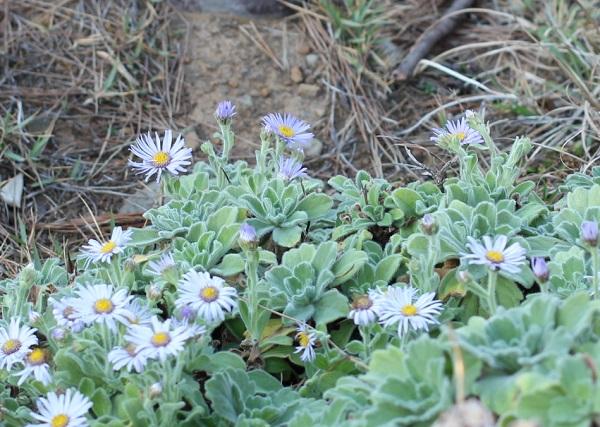 地に広がって咲いてるダルマギクの様子の写真