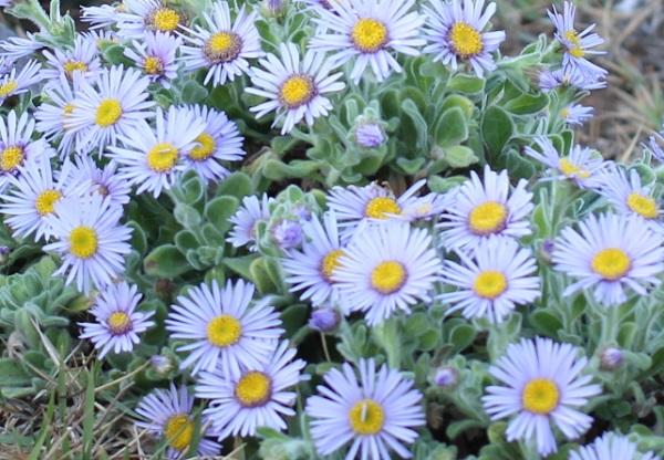 美しいダルマギクの花の写真